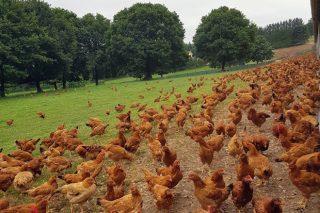 En 2019 aumentó un 150% la avicultura de carne en ecológico y un 60% en porcino
