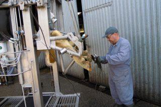 Curso de podología práctica en ganado vacuno la próxima semana en Monforte