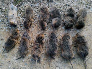 Esta es la rata-topo que destroza las praderas de la montaña de Lugo y así se combate en otras comunidades