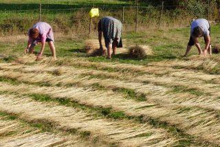 Dos cultivos con potencial en Galicia, el cáñamo y el regreso del lino