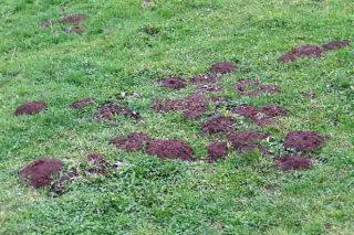 Todos los métodos eficaces para luchar contra la rata-topo en praderas y cultivos