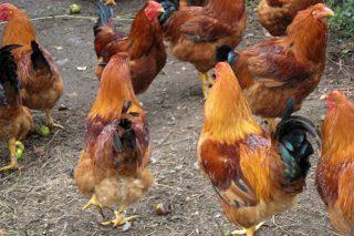Curso online sobre pequeños mataderos de aves