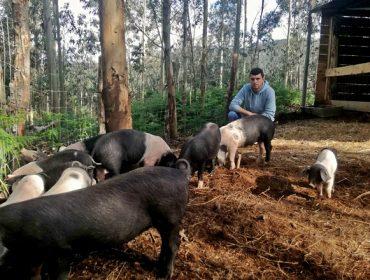 Porco Celta de Couboeira, apuesta por la cría en extensivo en Mondoñedo