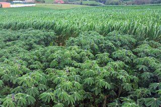 Altramuz y colza, cultivos forrajeros que llegan en rotación con el trigo