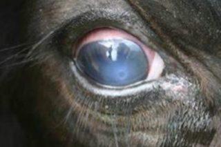 ¿Por qué aumentan los casos de la enfermedad del 'ojo blanco' en Galicia?
