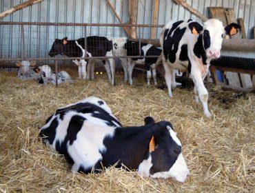 Pautas para criar terneras perfectas que garanticen mejores resultados en la ganadería