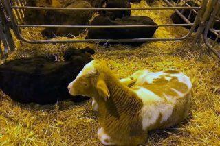 Bajada de precio en Amio en la recría de cruce, sin cambios en el resto del ganado