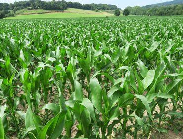 ¿Que variedades de maíz forrajero plantar este año en Galicia?