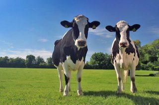 ¿Cómo puede afectarle el Brexit a los ganaderos y a la industria láctea británica?
