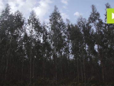 Cómo mejorar la productividad del eucalipto en Galicia