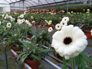 Los productores de flor ornamental podrán acogerse a las ayudas por cese de actividad si su facturación desciende un 75%