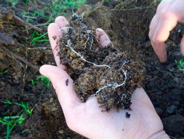 Sanavid, un plan para disminuir la podredumbre blanca de las raíces del viñedo