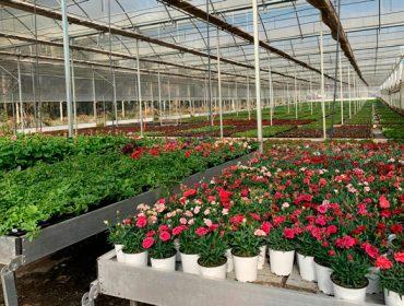 San Sadurniño en flor, una iniciativa de apoyo a los viveros de planta ornamental