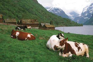 Tratamiento de la mastitis en vacuno de leche en Noruega