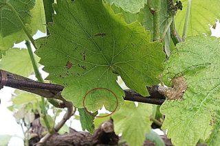 Avanza el mildiu en las viñas y recomiendan hacer los primeros tratamientos