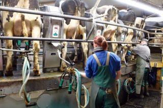 Se busca trabajador para granja de vacuno de leche en Mesía