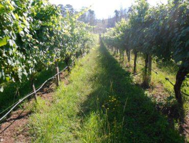 ¿Es preciso regar el viñedo en Galicia?