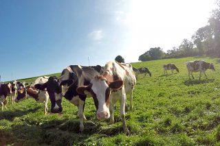 Pastar día y noche, cabaña variada y partos agrupados: la estrategia de los ganaderos suizos en ecológico