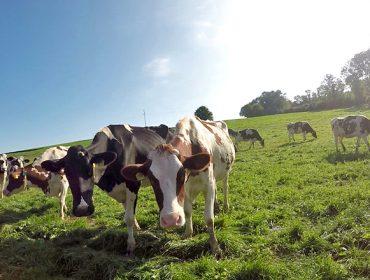 ¿Podría ser la leche de vaca una aliada frente al coronavirus?