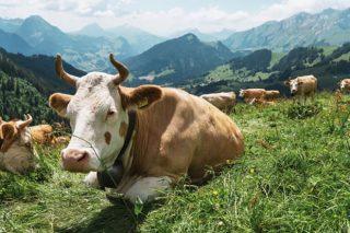 Suiza, el país donde los ganaderos están vendiendo la leche a 59 céntimos el litro