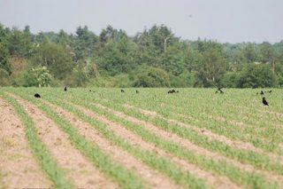 ¿Cómo proteger las semillas de maíz frente a los cuervos y jabalís?