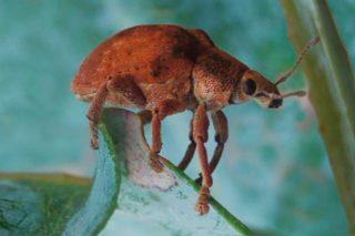 Curso sobre prospección y control de la plaga del goníptero en eucalipto