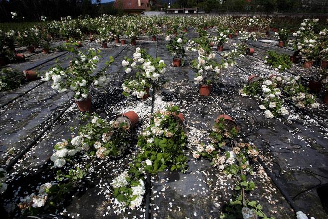 Se concretan las ayudas a los productores de flor cortada y planta ornamental