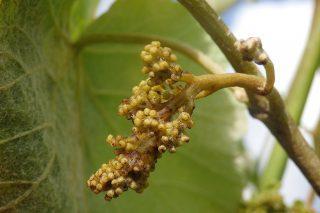 Condiciones muy favorables para la propagación del mildiu en el viñedo
