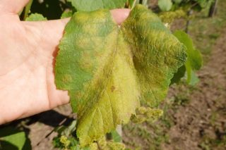Preocupación por el fuerte incidencia del mildiu en el viñedo