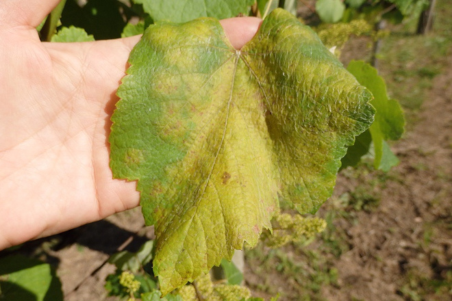 """""""El 2020 es el más complicado que recuerdo para controlar el mildio en la viña"""""""
