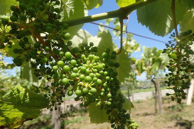Las lluvias que se anuncian para la semana obligan a incrementar los tratamientos del viñedo