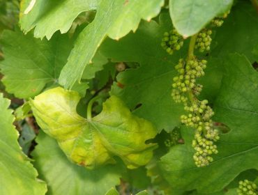 Recomiendan aplicar lo antes posible un tratamiento antimildio en el viñedo