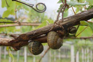 Tierra de diatomeas, el insecticida ecológico para controlar plagas de caracoles