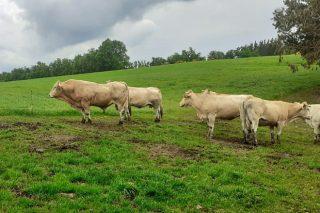 Las ganaderías de vacuno de carne cobrarán entre 900 y 7.000 euros de ayudas directas por el coronavirus