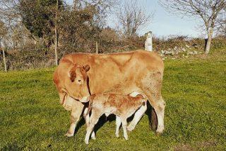 Nuevas bajadas en Ternera Gallega y en el ganado de abasto en el Mercado de Amio