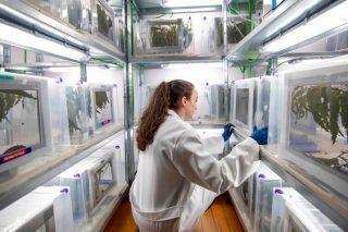 Toxo, una nueva biofábrica gallega para combatir el gorgojo del eucalipto
