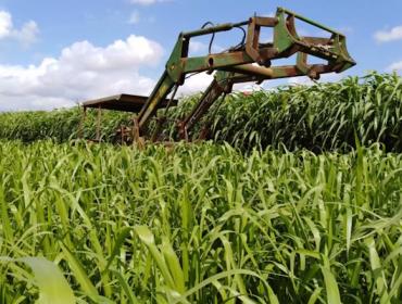 Recomendaciones para el cultivo del pasto siambasa, una alternativa forrajera