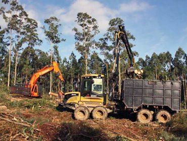 ¿Cuál es el turno de tala óptimo para eucalipto nitens en Galicia?