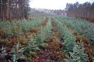 Moratoria a nuevas plantaciones de eucalipto en Galicia