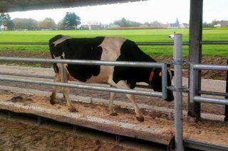 Tendencias de sensores en granjas de vacuno de leche