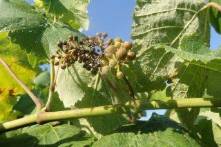 ¿En qué momento es más susceptible el viñedo a las enfermedades fúngicas?