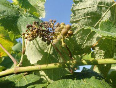 Aconsejan extremar la vigilancia del viñedo frente a la propagación del mildio