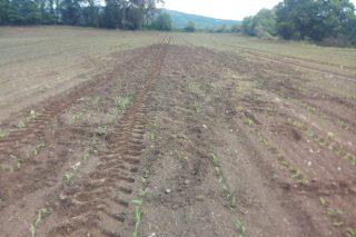 Resiembran por tercera vez parcelas de maíz en Boimorto por los daños del jabalí