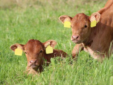 Kovital: El nuevo plan nutricional de Heus para cebo de terneros con mayor eficiencia y bienestar animal