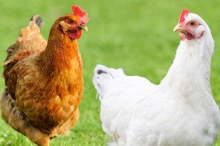 """De Heus presenta una innovadora herramienta para diseñar planes de alimentación avícola """"a la carta"""""""