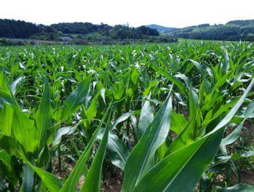 Nergetic Dynamic asegura en una única aplicación las necesidades de nitrógeno, fósforo y potasio del maíz para ensilado