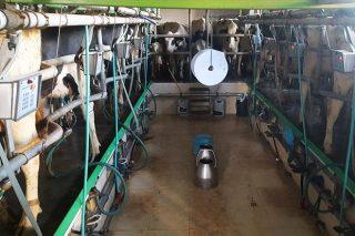 Se necesita personal para trabajar en una explotación de leche en Friol