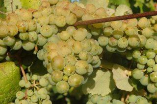 Mejora el estado sanitario del viñedo en Galicia que ya está en el cierre del racimo