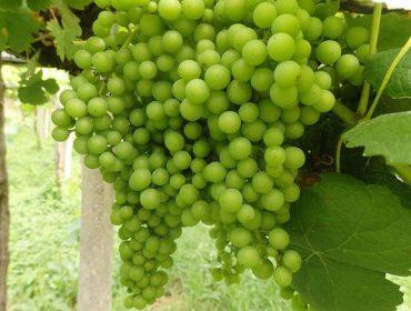 Recomendaciones para el cuidado de la viña durante los proximos días