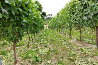 Recomendaciones para el deshojado en viñedo